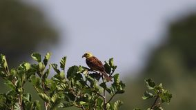黄色锤子鸟, Emberiza citrinella,在一条河旁边的一棵小树在一个有风晴天在7月,苏格兰栖息 股票录像