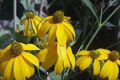 黄色锥体花 图库摄影