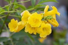 黄色长辈,Trumpetbush,在自然背景的Trumpetflower 免版税库存照片