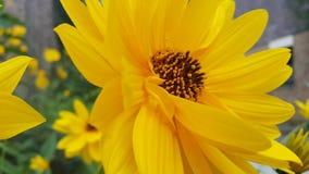 黄色雏菊在夏天 图库摄影