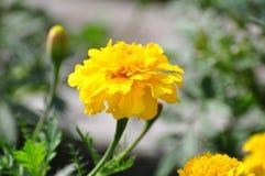 黄色雏菊在香港 库存照片