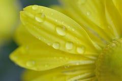 黄色雏菊瓣宏观细节有水滴的 图库摄影
