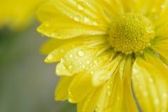 黄色雏菊瓣宏观细节有水滴的 库存照片