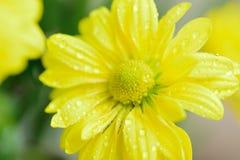 黄色雏菊瓣宏观细节有水滴的 库存图片