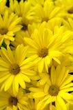 黄色雏菊背景-金黄蝴蝶延命菊雏菊 免版税库存图片