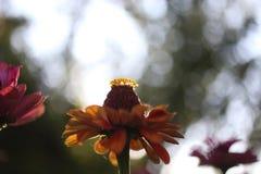 黄色雏菊花在庭院里 免版税库存照片