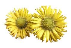 黄色雏菊花在白色的隔绝了背景 设计的两棵春黄菊 在视图之上 特写镜头 免版税库存图片