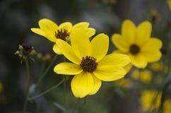 黄色雏菊2 免版税库存照片