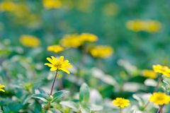 黄色雏菊Cota tinctoria金黄延命菊多年生植物 免版税库存照片