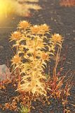 黄色青苔和脊椎在埃特纳火山 黑火山的地球,Volc 库存图片