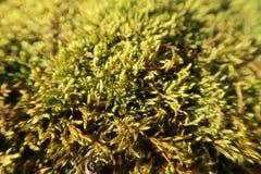 黄色青苔在森林,天然泉背景里 库存图片