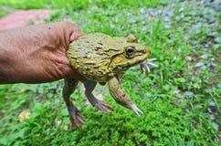 黄色青蛙的美丽的眼睛在手上 库存照片