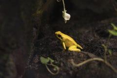黄色青蛙 库存图片