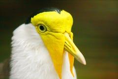 黄色顶头鸡 库存照片