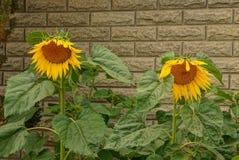 黄色颜色两个美丽的开花的向日葵在砖墙附近的 免版税库存照片