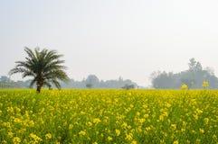 黄色颜色油菜籽风景视图召集在森林地纳迪亚,西孟加拉邦,印度天际的花  库存图片