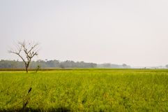 黄色颜色油菜籽风景视图召集在森林地纳迪亚,西孟加拉邦,印度天际的花  免版税图库摄影
