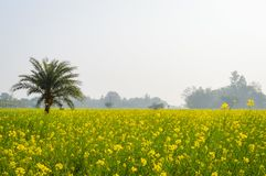 黄色颜色油菜籽风景视图召集在森林地纳迪亚,西孟加拉邦,印度天际的花  免版税库存照片