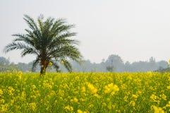 黄色颜色油菜籽风景视图召集在森林地纳迪亚,西孟加拉邦,印度天际的花  免版税库存图片