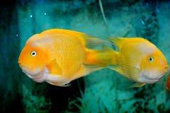黄色颜色鱼 免版税库存图片