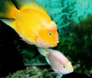黄色颜色鱼 库存图片