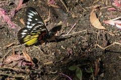 黄色飞过的蝴蝶 库存照片