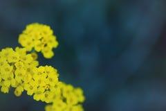 黄色香雪球在深蓝被弄脏的背景开花在室外的庭院里 免版税库存照片