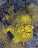 黄色鳖鱼科之鱼 免版税库存照片