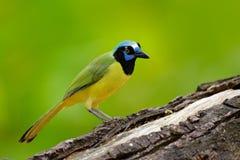 黄色鸟,黑蓝色头,狂放的自然 野生生物墨西哥 绿色杰伊, Cyanocorax yncas,狂放的自然,伯利兹 美丽的鸟从 库存照片