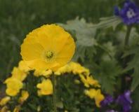 黄色鸦片花在庭院里 库存图片