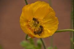 黄色鸦片花春天场面与三只蜂的 免版税库存照片