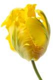 黄色鹦鹉郁金香 免版税库存图片