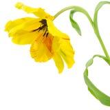 黄色鹦鹉郁金香 库存照片