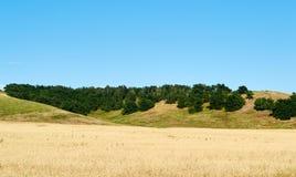黄色麦子 库存图片