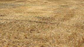 黄色麦田在收获以后的 免版税库存照片