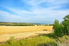 黄色麦田,粮食作物收获  成熟麦子耳朵  免版税图库摄影