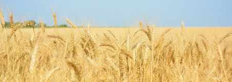黄色麦田,粮食作物收获  成熟麦子耳朵  库存图片