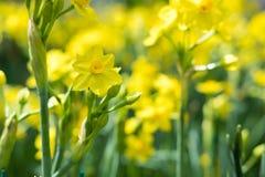 黄色黄水仙在公园在春天 开花的花在庭院里 Fl 库存照片