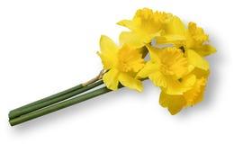 黄色黄水仙花束 背景查出的白色 库存照片