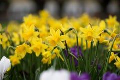 黄色黄水仙/水仙在春天有浅景深的开花 库存图片