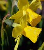 黄色黄水仙 免版税库存照片