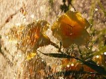 黄色黄花菜在雨中 免版税库存图片