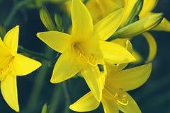 黄色黄花菜花或萱草属植物开花 库存照片