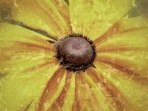 黄色黄金菊最大值的中心! 免版税库存图片