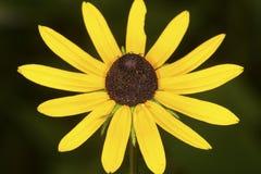 黄色黑眼睛的苏珊开花在Belding蜜饯,连接 图库摄影