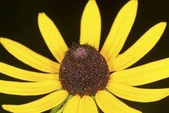黄色黑眼睛的苏珊开花在Belding蜜饯,连接 库存图片