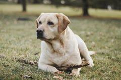 黄色,女性拉布拉多猎犬画象 免版税库存照片