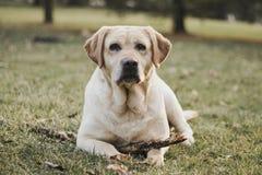 黄色,女性拉布拉多猎犬画象 库存图片