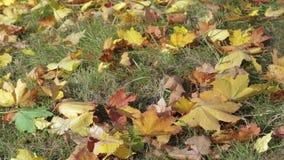 黄色,橙色和红槭叶子在草说谎在秋天公园 股票录像