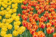 黄色,橙色和红色郁金香在公园背景中 有选择性的fo 免版税库存照片
